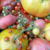 Tomat' & Co… dans un Jardin des Sens !