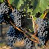 Vins : Faut de moins en moins compter sur le marché français pour écouler nos productions de vins