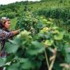 Des français produisent maintenant du vin en Birmanie