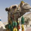 Le chameau du Président a fini en Tajine