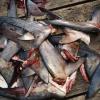 Ailerons de requins, l'état de New York interdit sa commercialisation