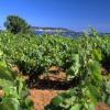 Le Picpoul de Pinet : » En quelques années, il s'est imposé comme le blanc incontournable du Languedoc.  «