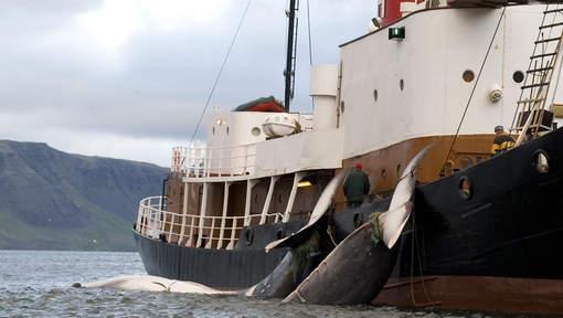 peche baleine