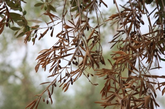 oliviers malades