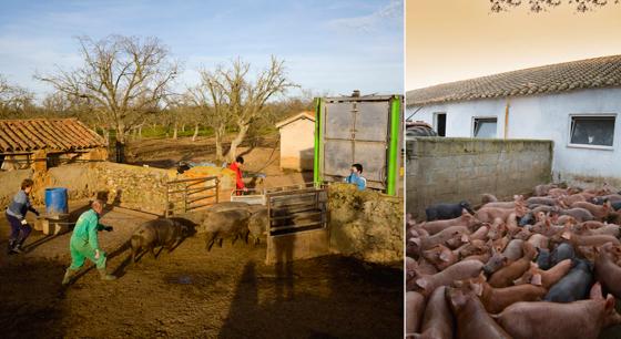 Porc Iberique