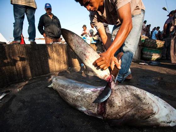 1ailerons de requin afp