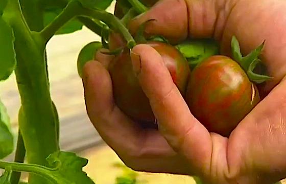 Tomate France