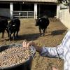 Du taureau façon bœuf de Kobé bientôt élevé dans le département de l'Hérault ?