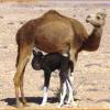 Produits du bout du monde : le lait de chamelle, un produit bourré d'anticorps