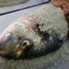 Pourquoi pas une daurade en croûte de sel au Jardin des Sens