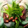 La Russie cultive du thé dans la région la plus au nord du monde possible pour cette production