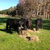 Le Boeuf Black Angus de Nouvelle-Zélande en exclusivité à Maison Blanche Paris