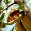 Sauver l'amande française … dans l'Aude et les Pyrénées Orientales, un pâtissier relance la culture et l'exploitation