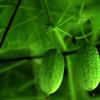 Une mini-pastèque voit le jour en Chine