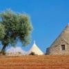Les oliviers menacés dans la région italienne des Pouilles